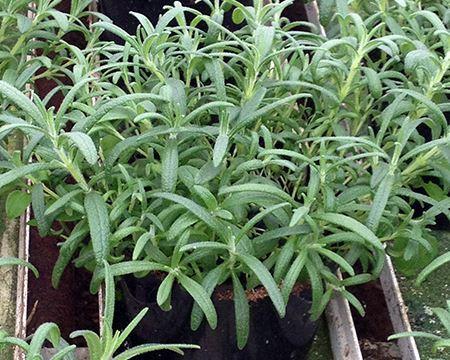 Bild för kategori Övriga kryddväxter
