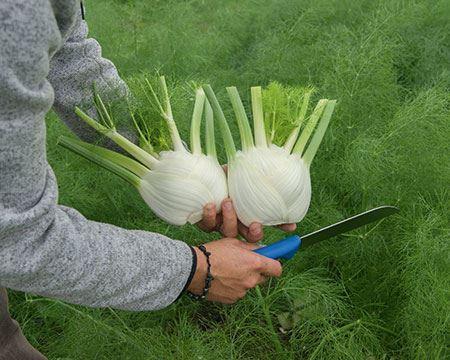 Bild för kategori Övriga grönsaker