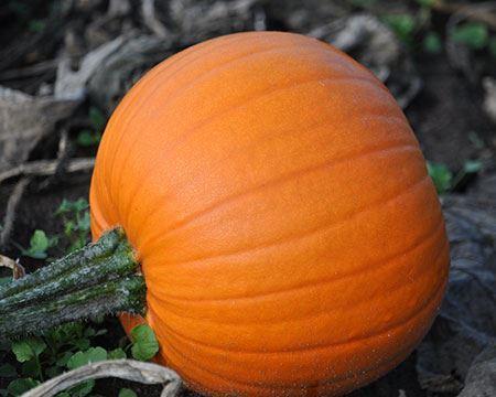 Bild för kategori Halloweenpumpa
