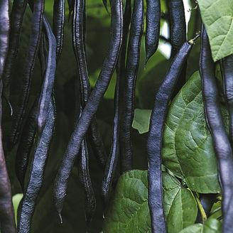 Picture of Störbrytböna Blauhilde, ekologiskt odlat frö