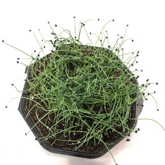 Picture of Gul lök till skottodling, ekologiskt odlat frö