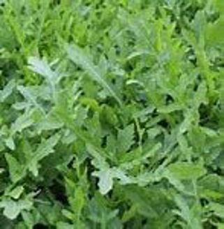 Picture of Vild ruccola, ekologiskt odlat frö