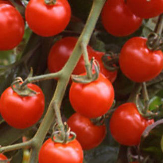 Picture of Tomat Suncherry F1