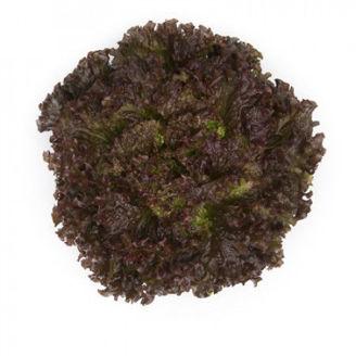 Picture of Bataviasallat Mineral RZ, ekologiskt odlat frö