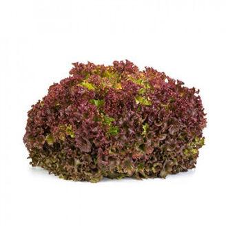Picture of Lollo rosso Traject RZ, ekologiskt odlat frö