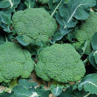 Picture of Broccoli Belstar F1, ekologiskt odlat frö