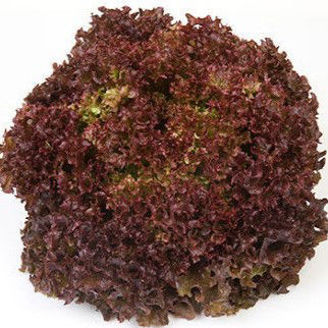 Picture of Lollo rosso Antonet RZ, ekologiskt odlat frö