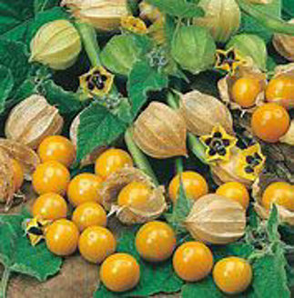 Picture of Physalis Golden Berry