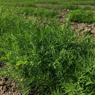 Picture of Dill Hera, Ekologiskt odlat frö